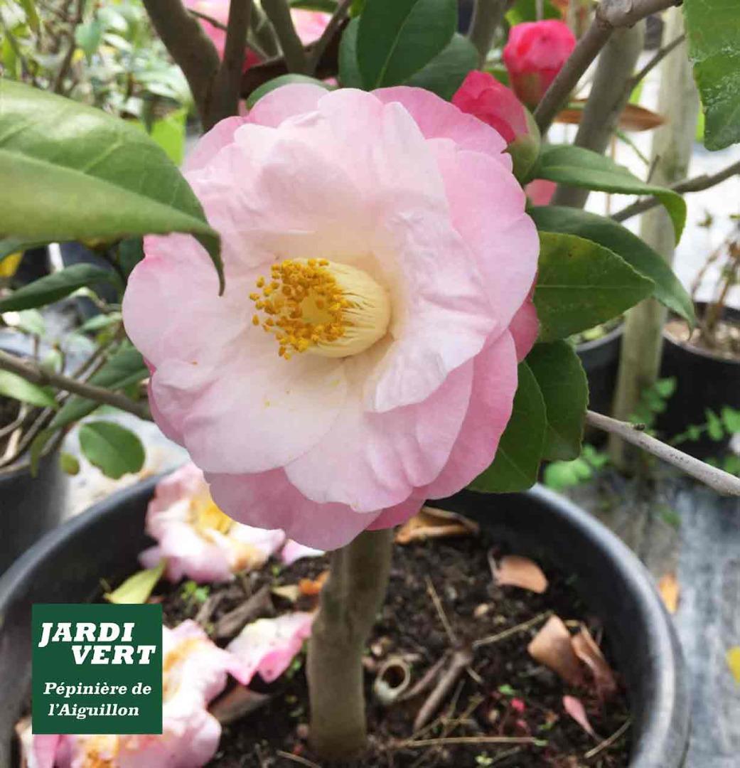 Quels arbustes planter à l'ombre ? Le camellia du Japon - Jardinerie de l'Aiguillon près de Toulouse
