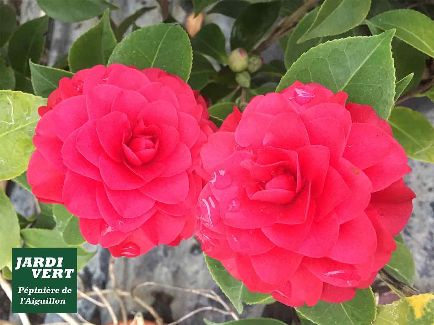 Vente de camélias rouges et autres plantes d'ombre - Jardinerie de l'Aiguillon à Frouzins