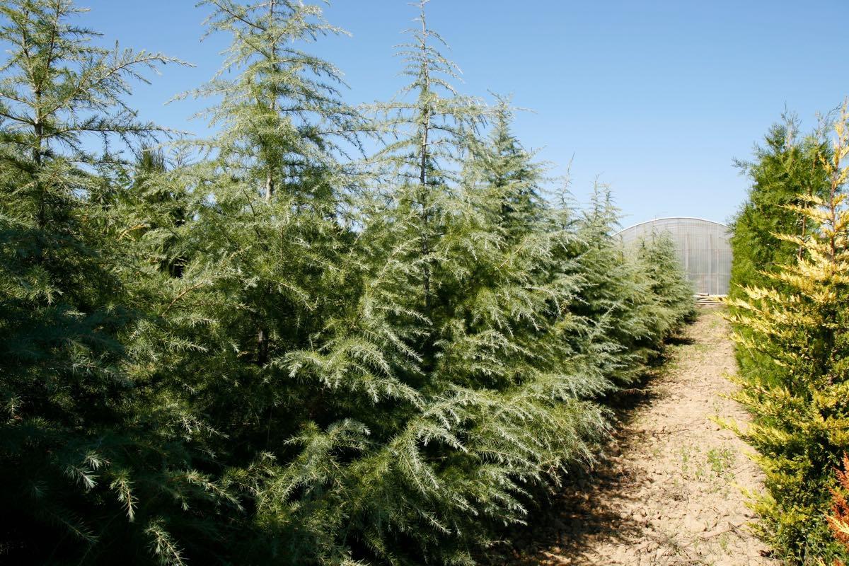 Planter un cedre - Pépinière de l'Aiguillon producteur Toulouse