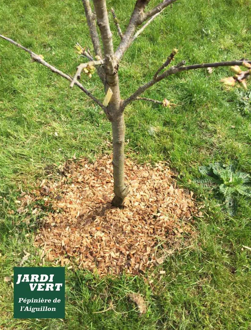 Vente de cerisier basse tige, à petit développement, qui reste petit, idéal pour les petits jardins - Jardinerie de l'Aiguillon Frouzins