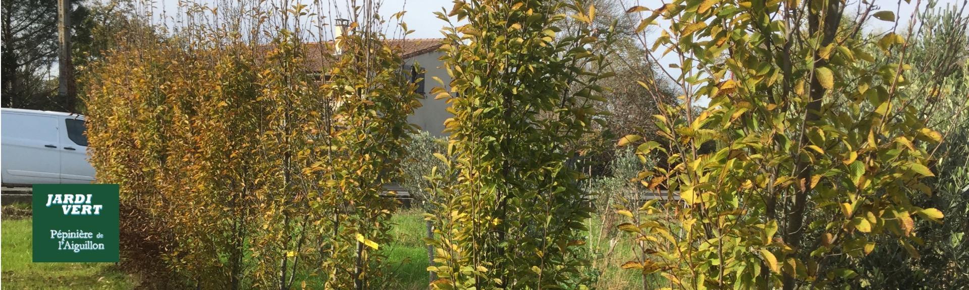 Vente d'arbres aux feuilles colorées - Pépinière de l'Aiguillon producteur Toulouse