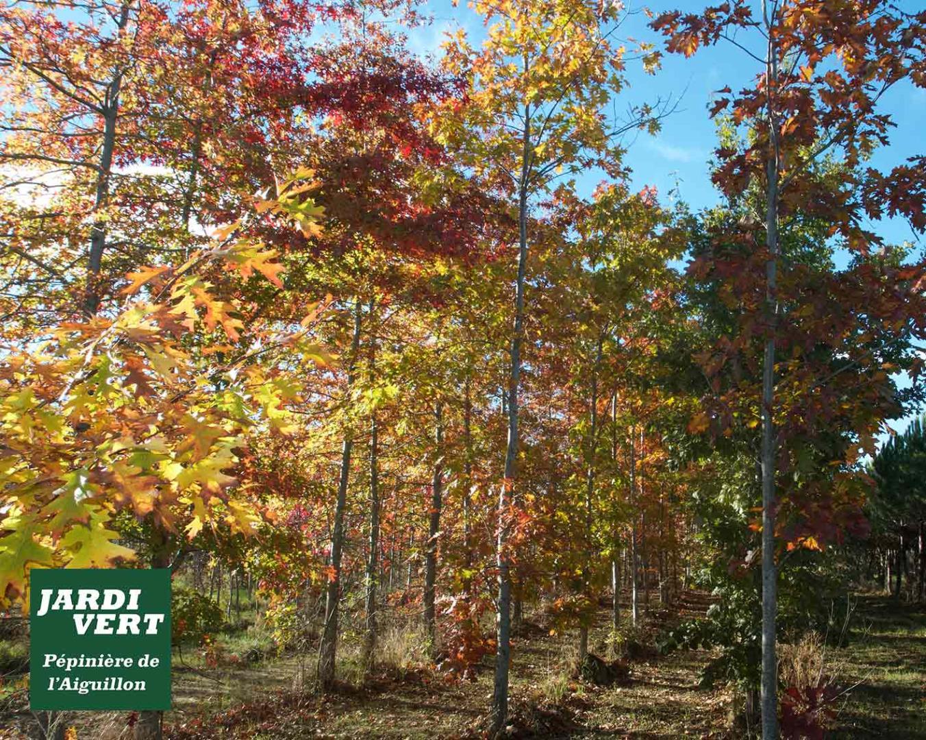 Vente de grands chênes rouge américain et chênes des marais adultes - Feuillage d'automne - Pépinière de l'Aiguillon arboriculteur