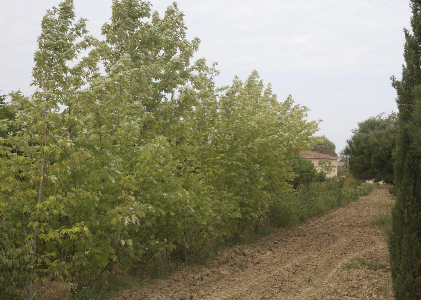Vente de liquidambar et erables à feuilles rouges en automne - Pépinière de l'Aiguillon producteur Toulouse