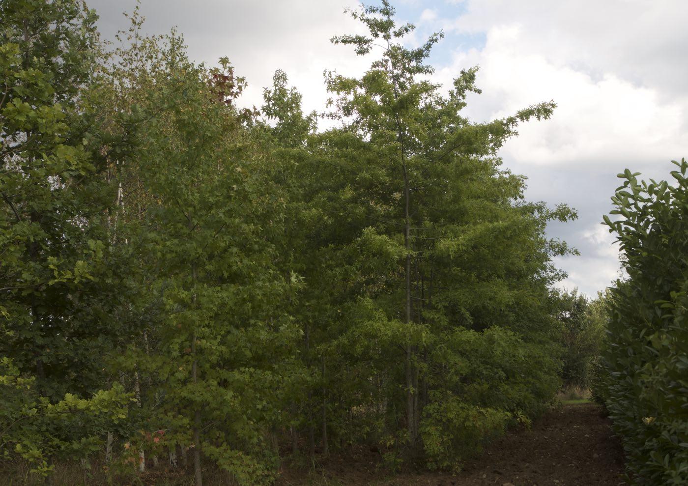 Vente d'arbre d'avenue de plein champs ou pleine terre - Pépinière de l'Aiguillon producteur Toulouse
