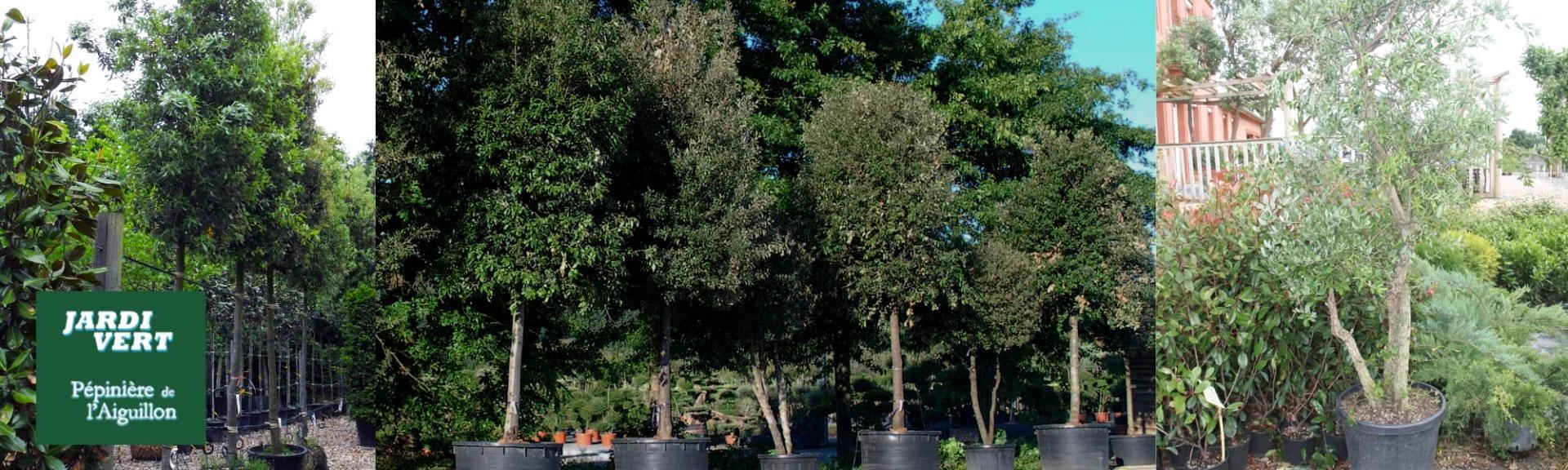 Vente de hêtres et de charmes - Pépinière de l'Aiguillon arboriculteur Toulouse