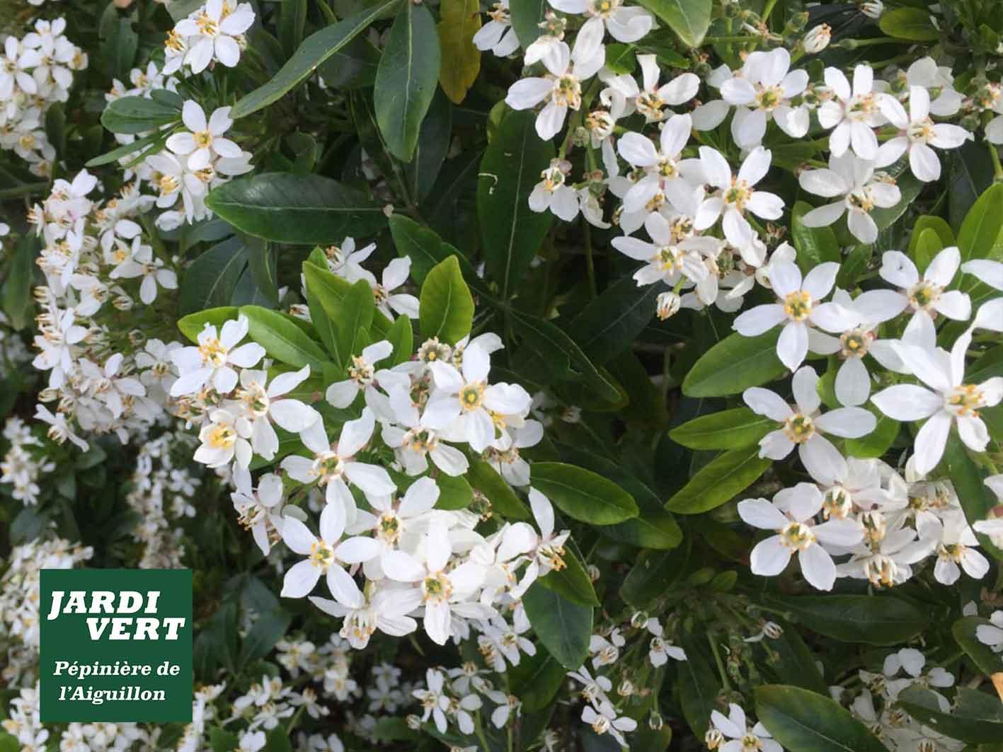 Installer un oranger du Mexique ou choisya ternata au jardin - Pépinière de l'Aiguillon Toulouse