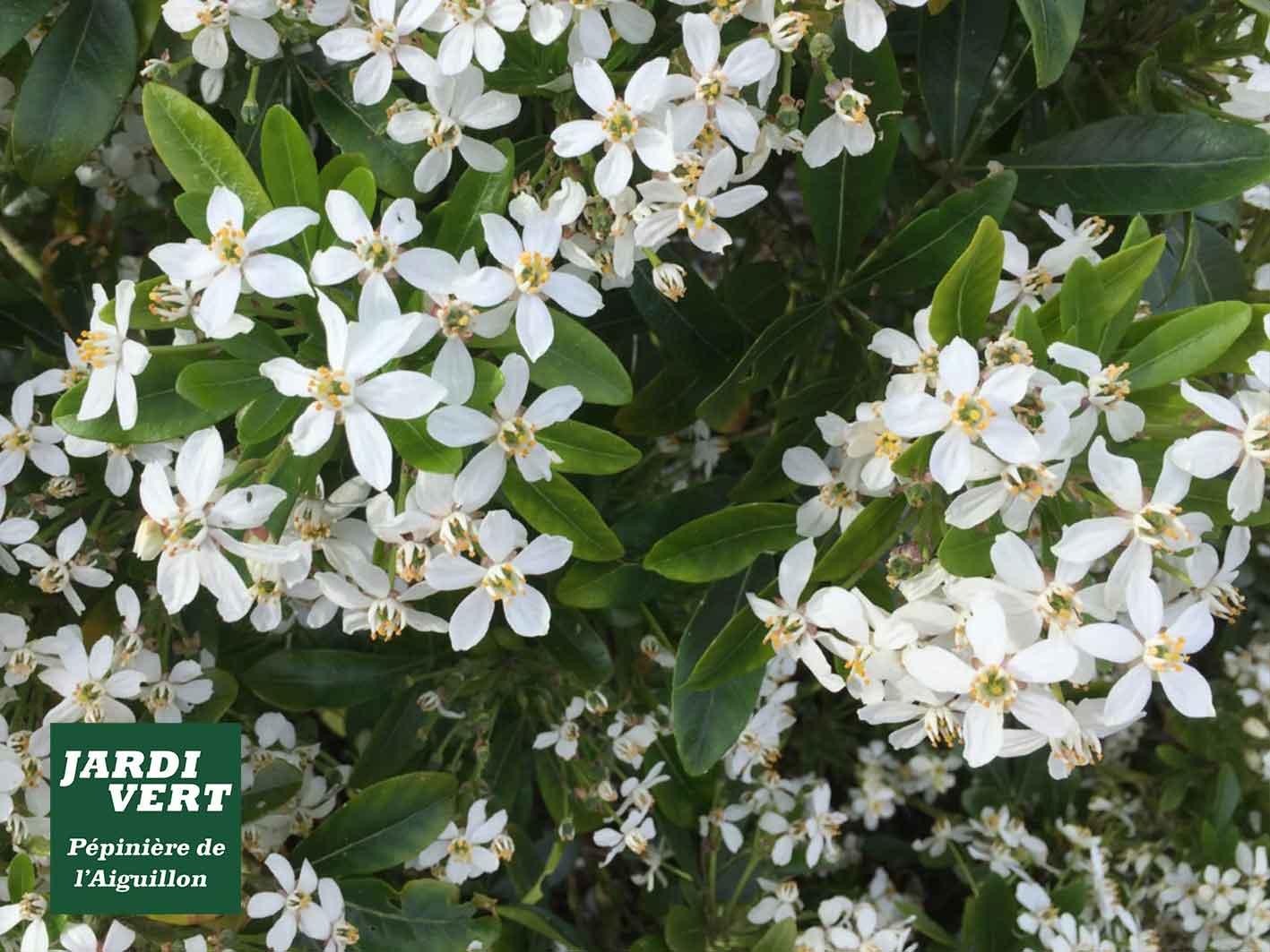 Planter un arbuste persistant et fleuri, le choisya - Jardinerie de l'Aiguillon Toulouse