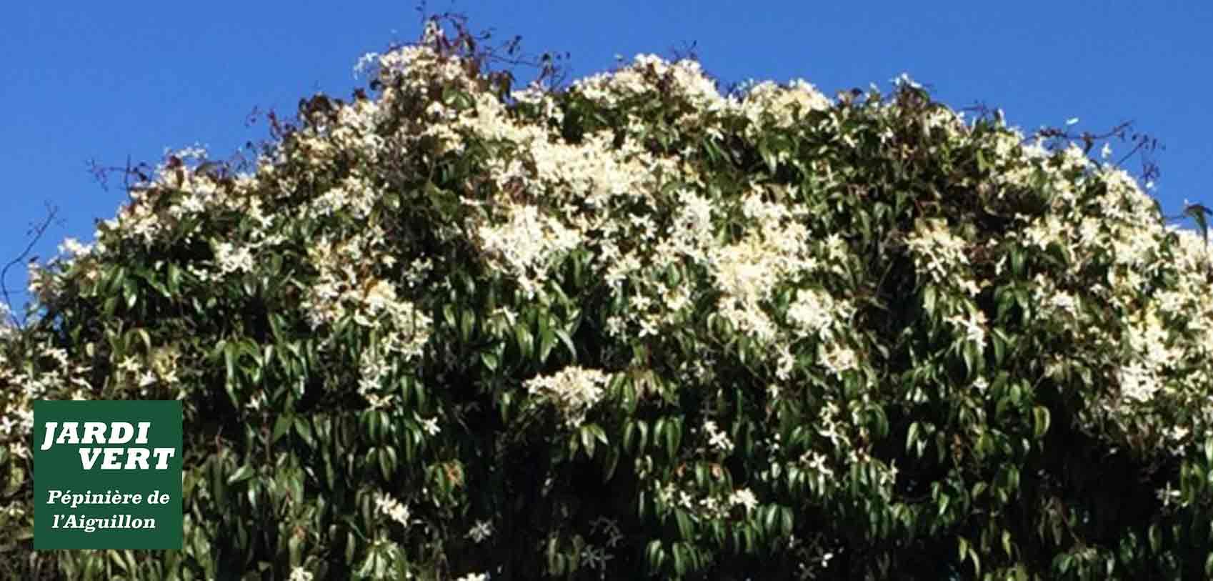 Vente de clématites persistantes et autres plantes grimpantes et tapissantes à fleurs - Jardinerie de l'Aiguillon près de Tournefeuille et Portet