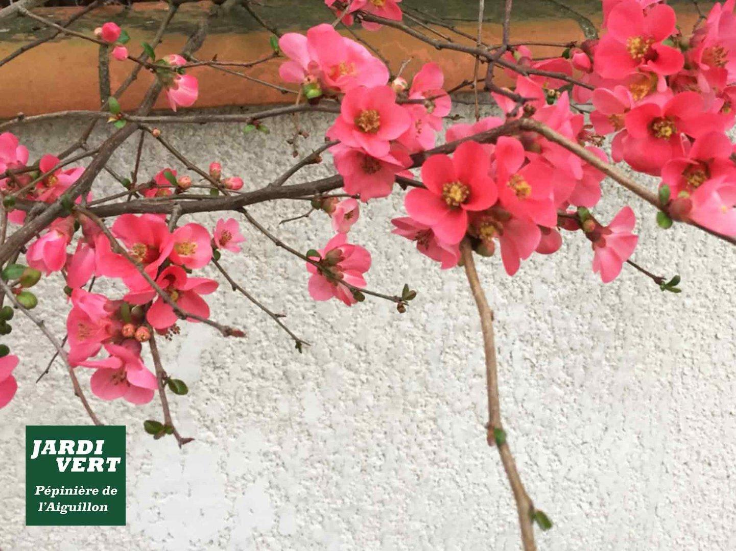 Vente de cognassier à fleurs à Toulouse - Pépinière et jardinerie de l'Aiguillon