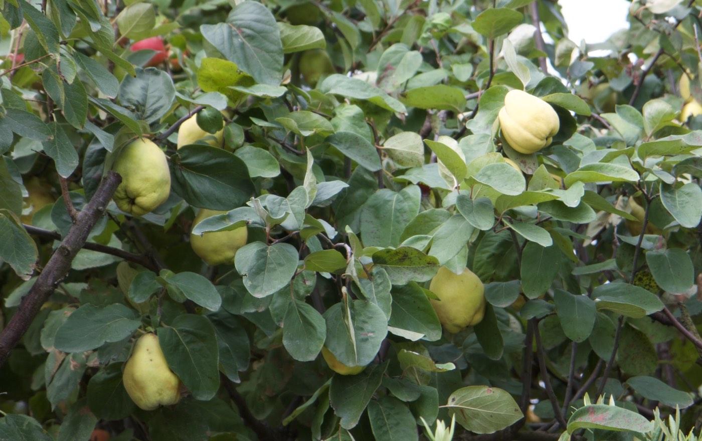 Vente d'arbres fruitiers cognassier à Toulouse - pépinière jardinerie de l'aiguillon