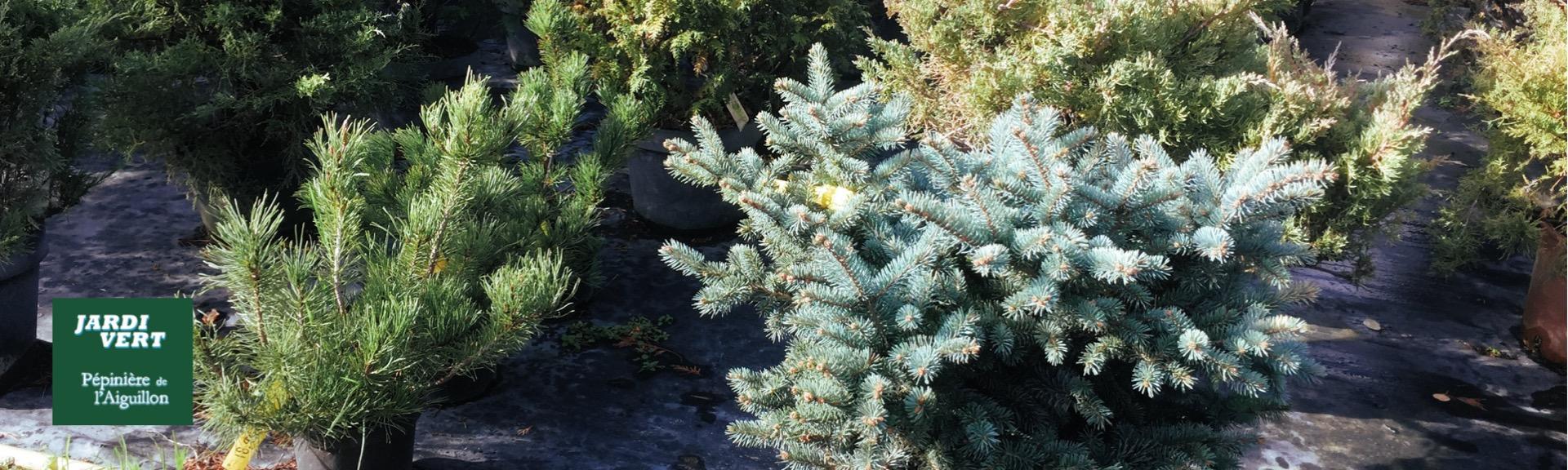 Vente de petits coniferes nains de rocaille - Pépinière de l'Aiguillon producteur Toulouse