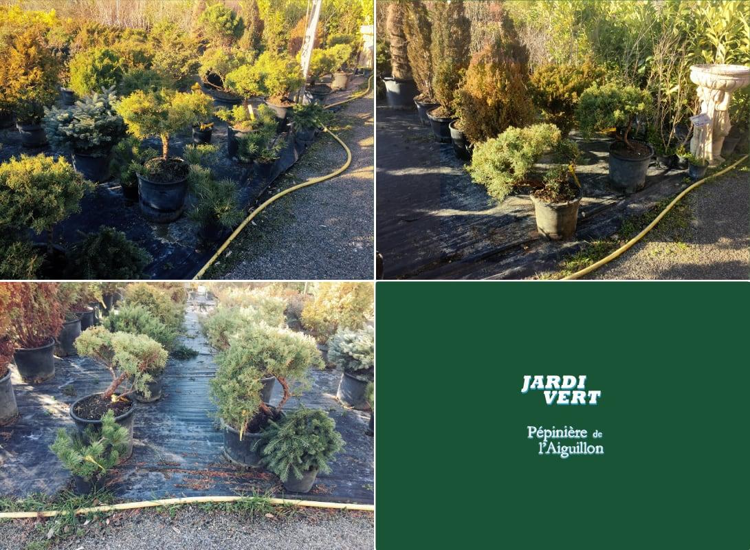 Acheter et planter un conifere bonsai  - Pépinière de l'Aiguillon Toulouse