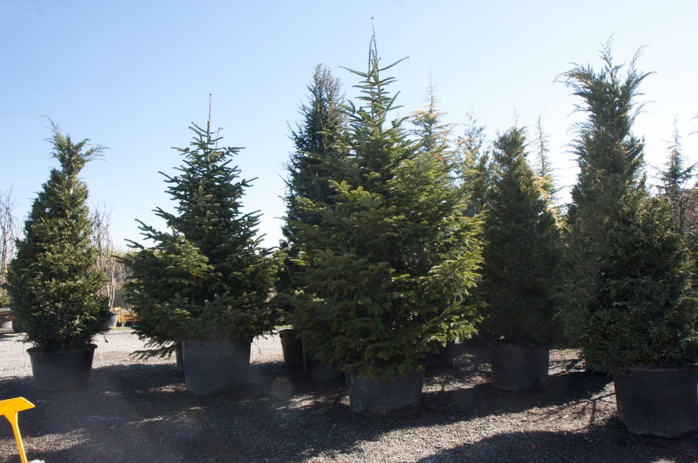 Vente de sapin de noel et conifere en container - Pépinière de l'Aiguillon producteur Toulouse
