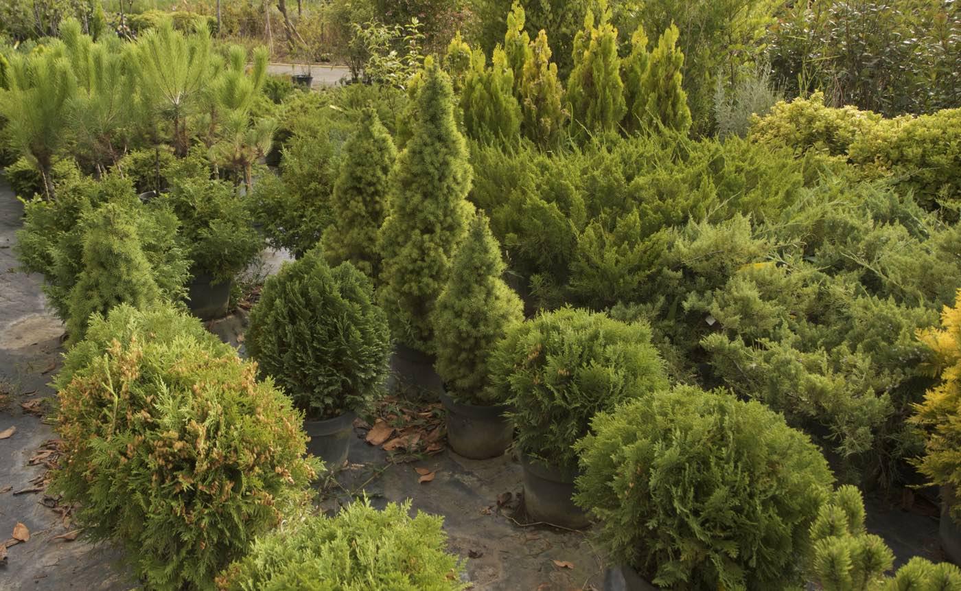 Petits coniferes de rocaille - Pépinière de l'Aiguillon producteur Toulouse