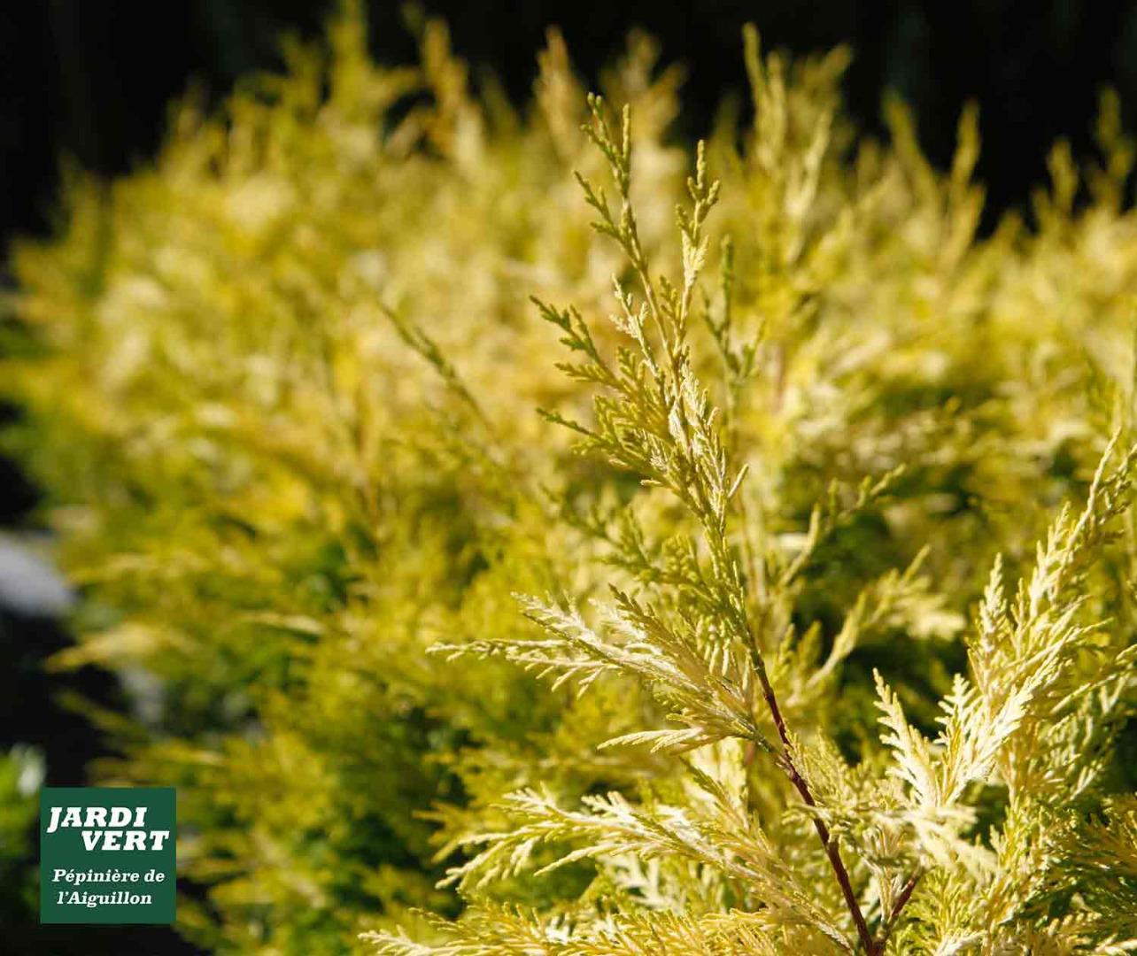 Producteur de cyprès de couleur et arbustes de couleur pour la haie - Jardinerie de l'Aiguillon à proximité de Fonsorbes et Saint-Lys