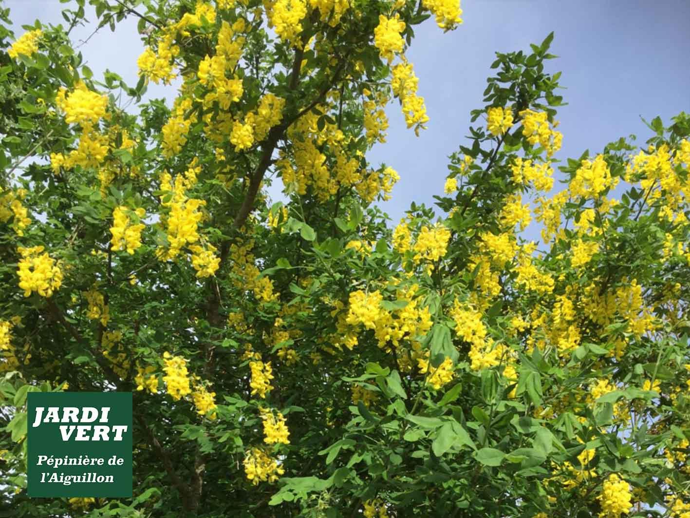 Vente d'arbres fleuris et à petit développement - spécial petit jardin