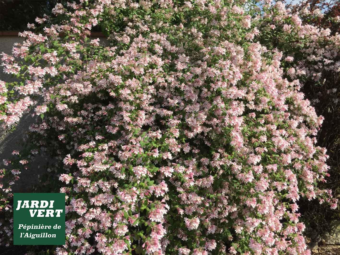 Planter des buissons à fleurs décoratifs comme le deutzia - Jardinerie de l'Aiguillon