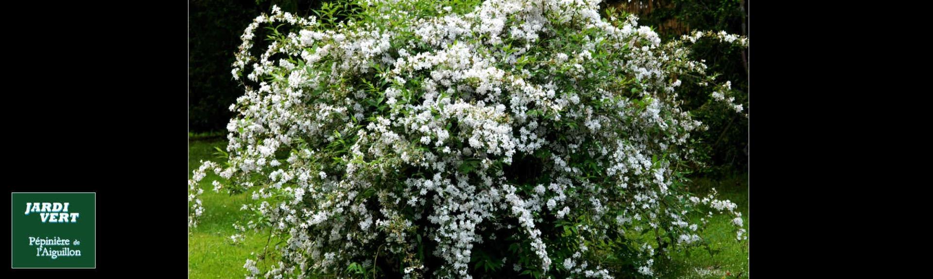 Deutzia japonica - Pépinière de l'Aiguillon Jardi Vert Toulouse