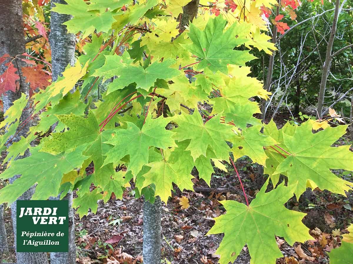 Vente d'erables - feuillage jaune d'automne - Pépinière de l'Aiguillon près de Toulouse