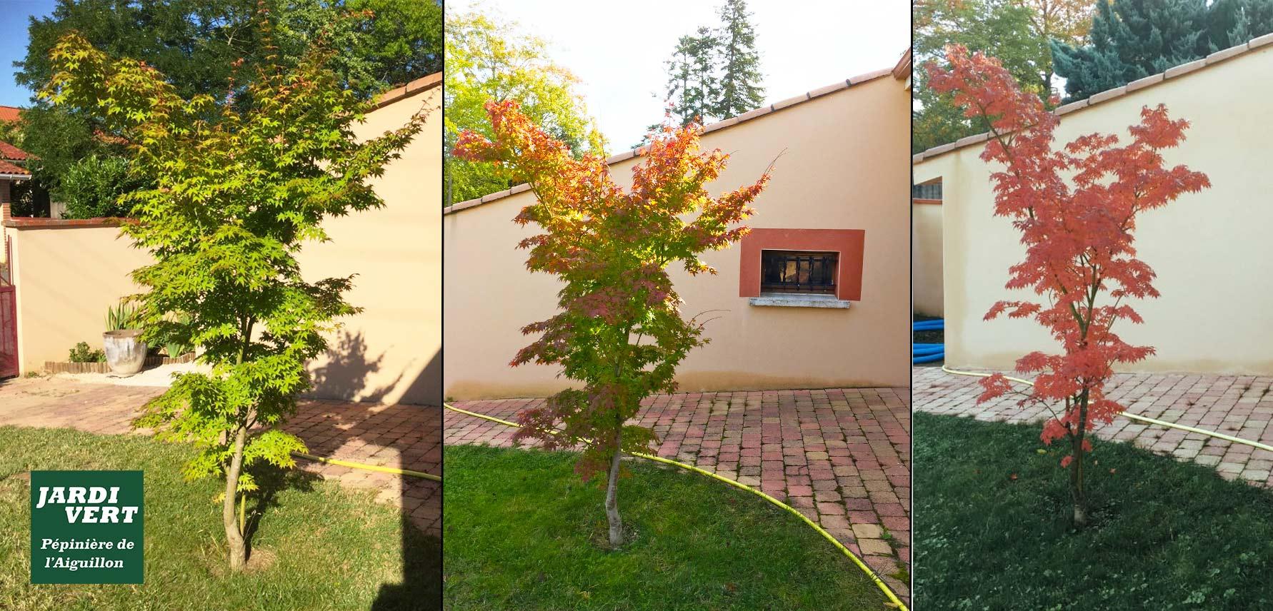 Evolution des couleurs de l erable du Japon - Pépinière de l'Aiguillon producteur à Toulouse