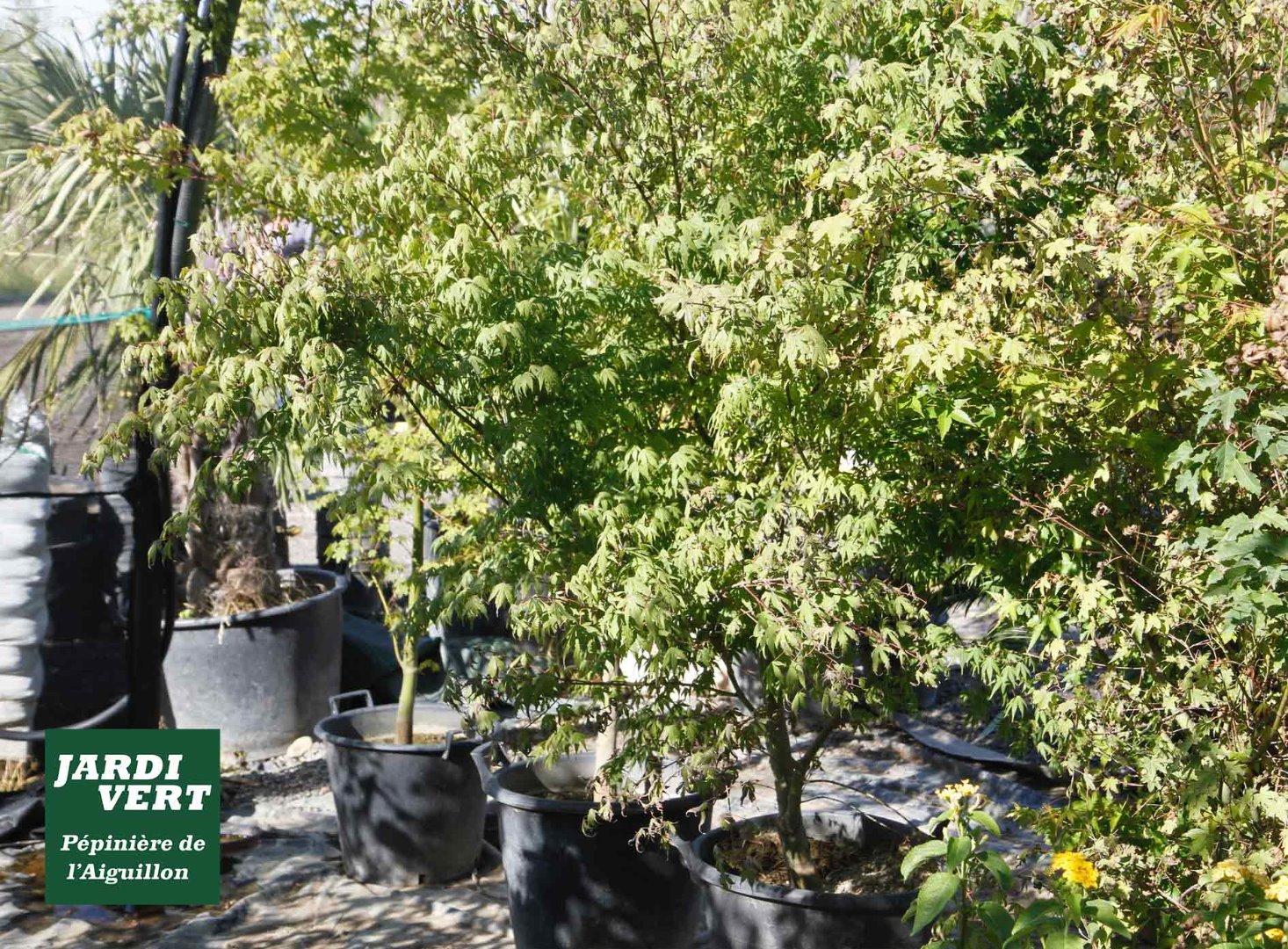 Vente de grands érables Japonais, feuillage d'été - Pépinière de l'Aiguillon producteur  à Toulouse