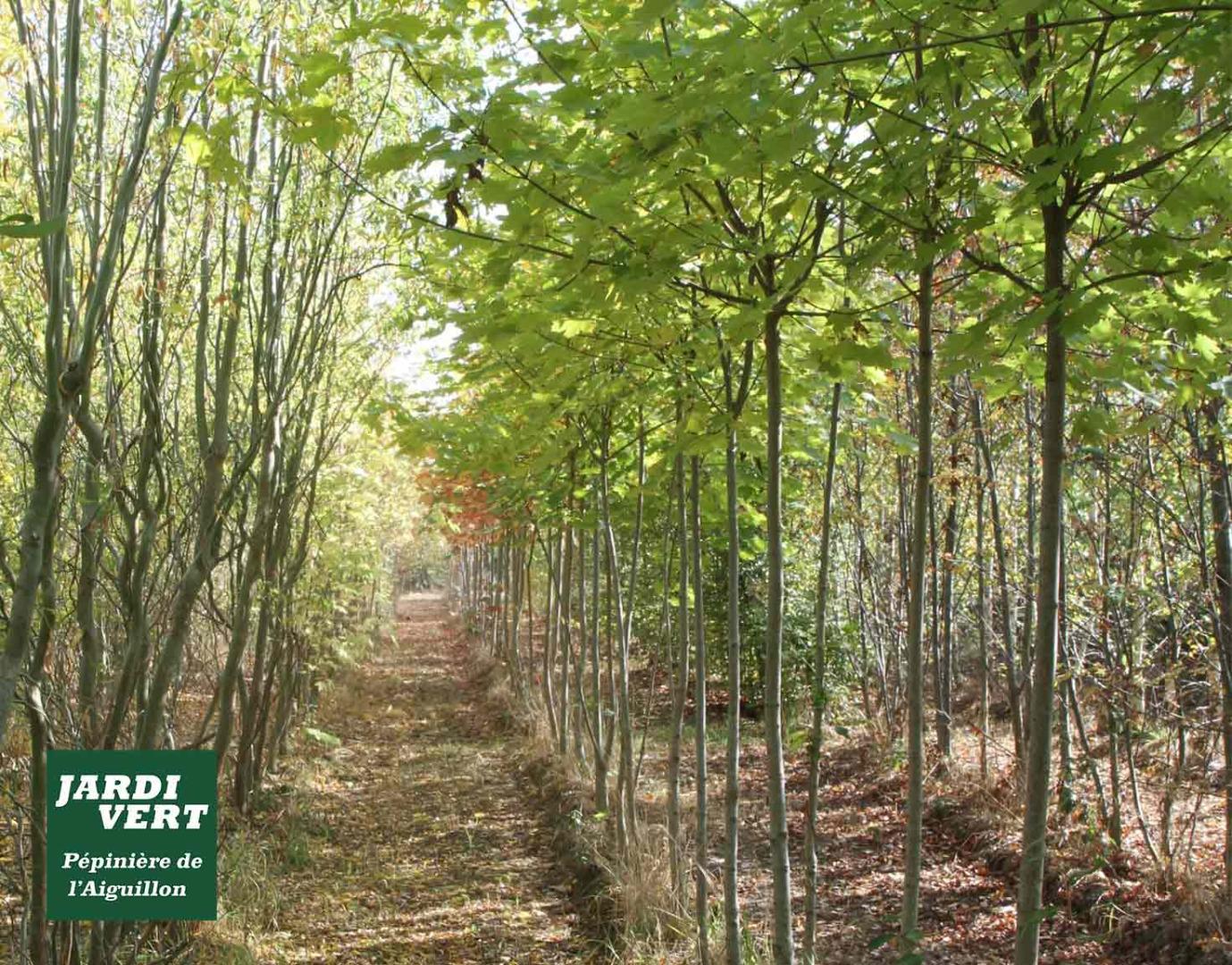 Production d'érable lacinié - Pépinière de l'Aiguillon près de Muret et Blagnac