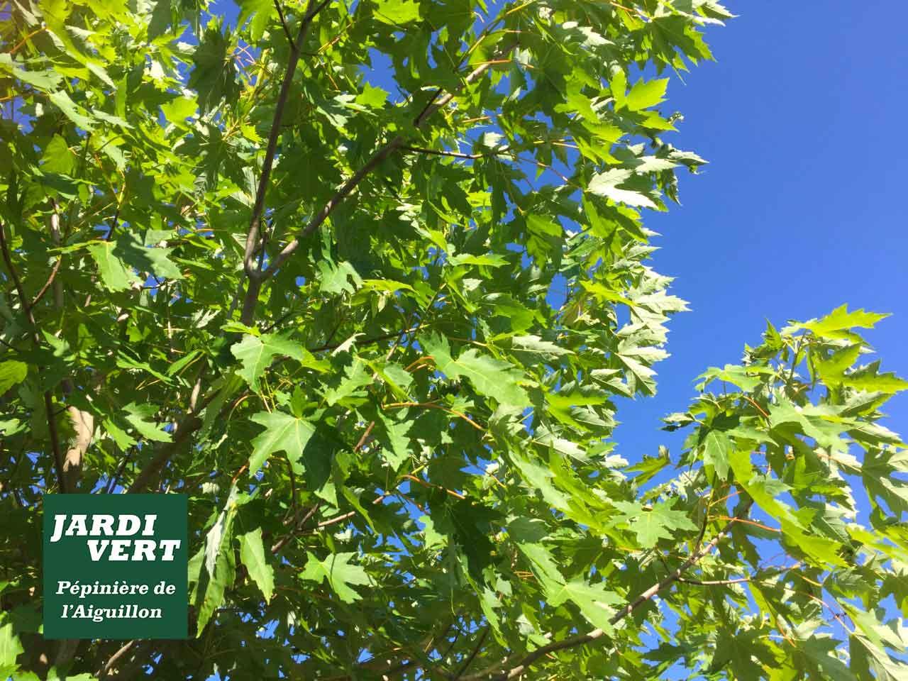 L'érable lacinié - Un bel arbre rustique pour faire de l'ombre à Toulouse