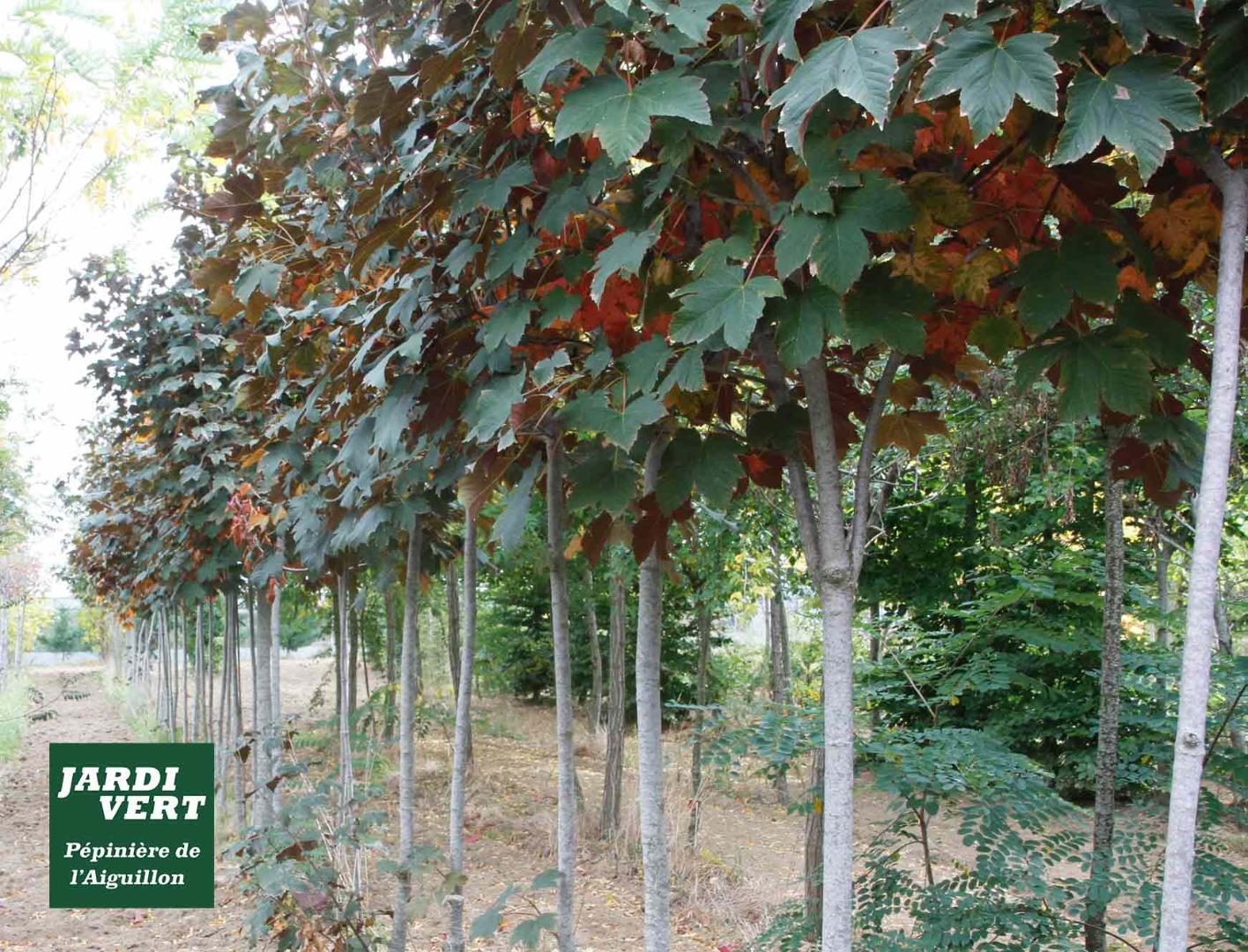 Vente de jeunes tilleuls - Jardi Vert pépinière de l'Aiguillon à Toulouse