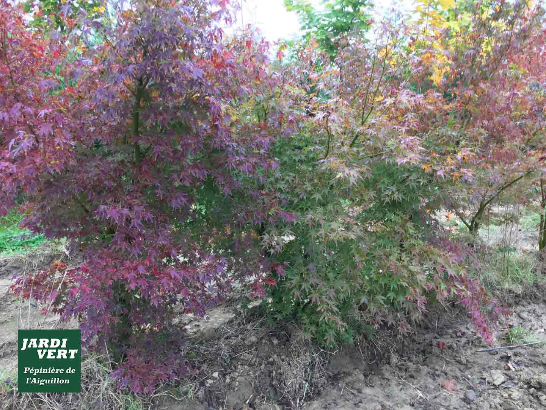 Vente d'érables du Japon ou acer palmatum de qualité, feuilles rouges d'automne, grand sujet, déjà adulte - Pépinière de l'Aiguillon producteur arboriculteur à Toulouse