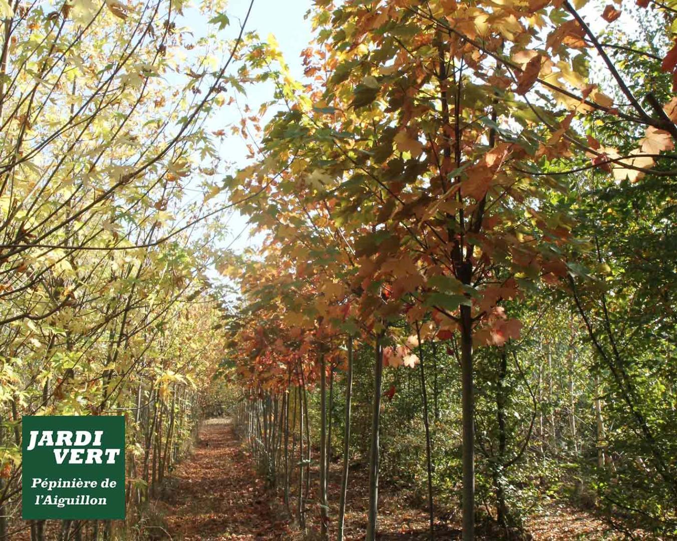 Production d'érables et autres arbres décoratifs - feuillage d'automne - Pépinière de l'Aiguillon Toulouse