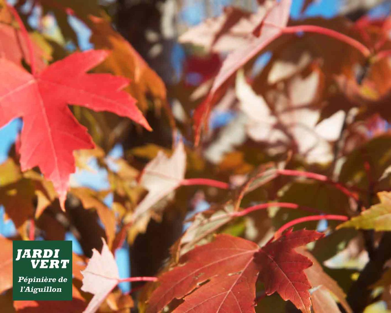 Vente d'erable rouge du canada et autres érables de couleur - Détail des feuilles - Pépinière de l'Aiguillon producteur Toulouse
