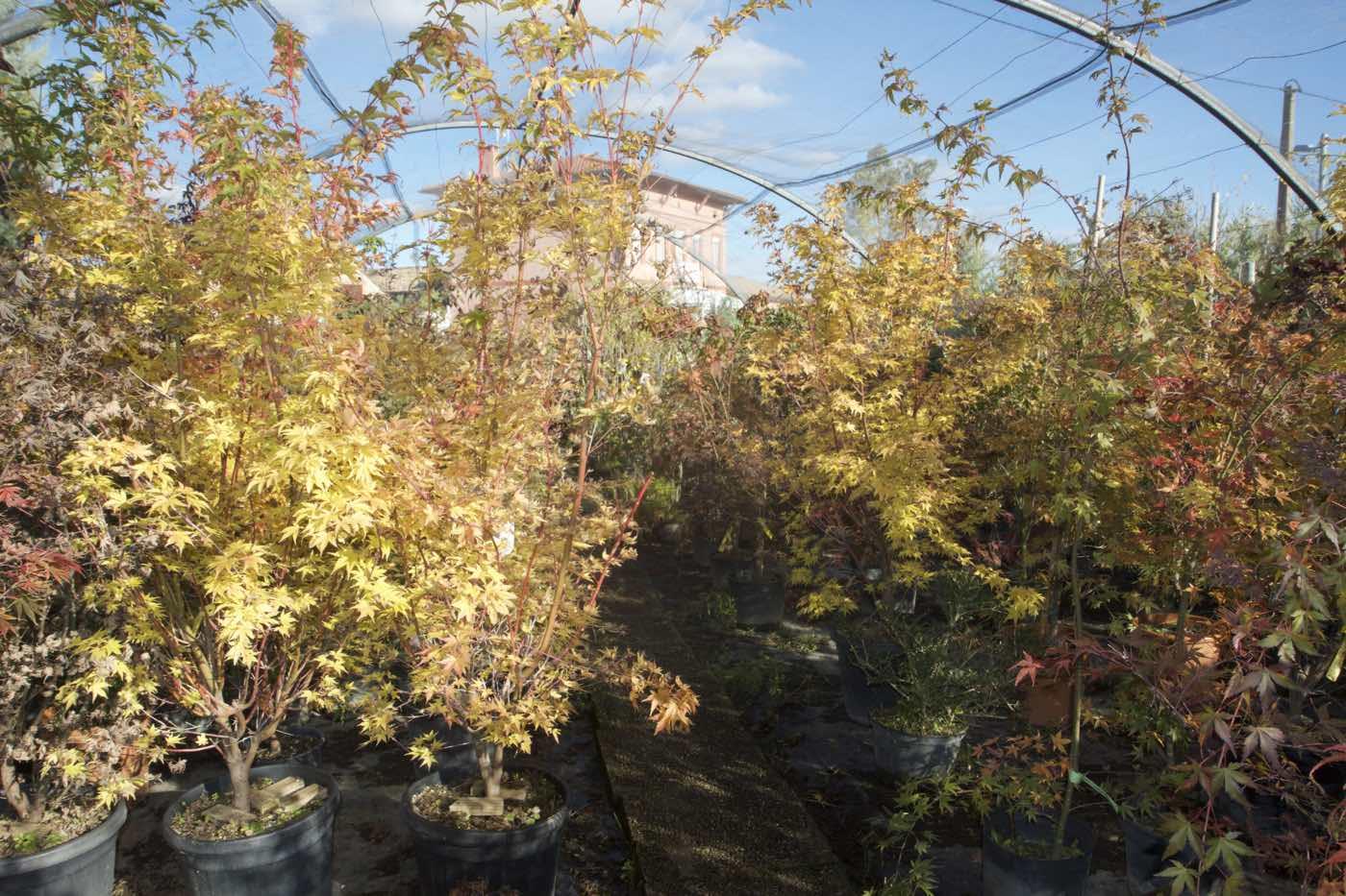 Vente d'erable du japon - acer palmatum- - Pépinière de l'Aiguillon producteur à Toulouse