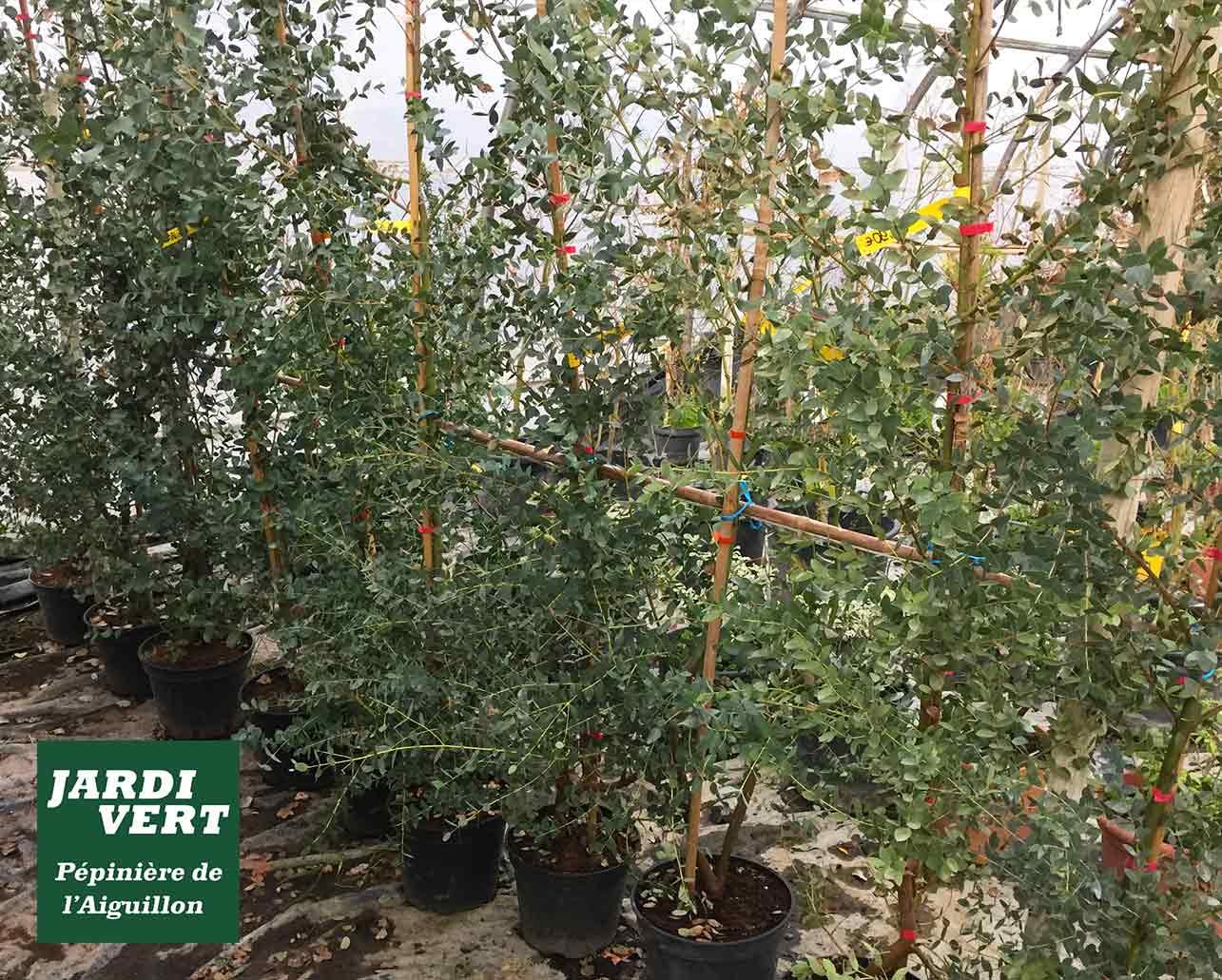 L'eucalyptus, un arbre rustique et à croissance rapide en Haute Garonne et à Toulouse