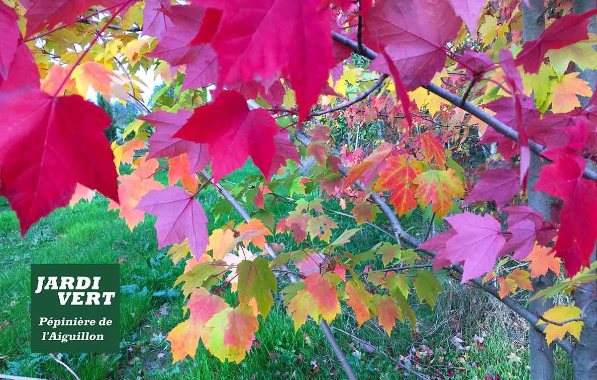 Erables - Feuillages d'automne rouge et jaune - Pépinière de l'Aiguillon 31