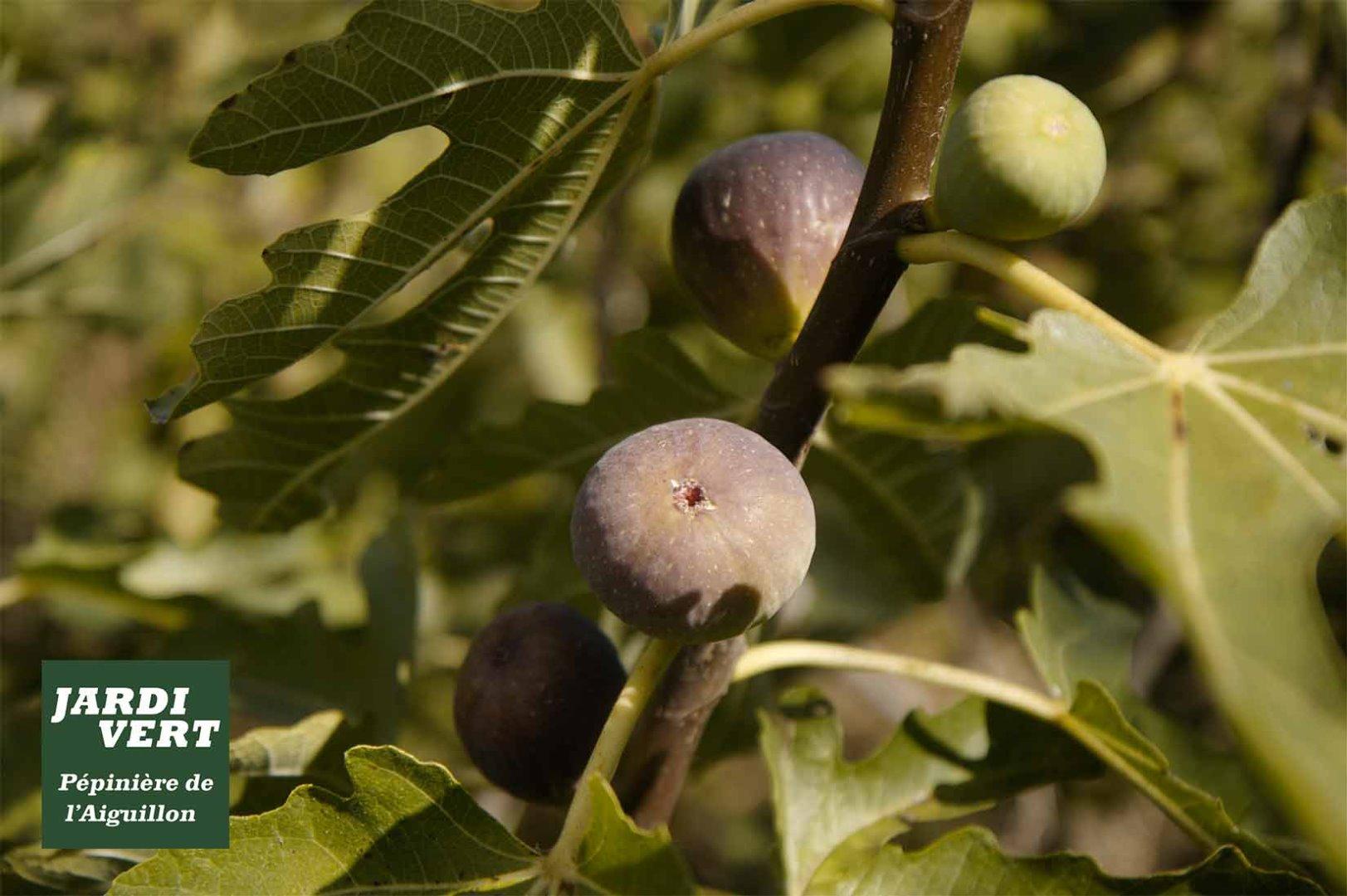 Acheter et planter un figuier ou ficus carica