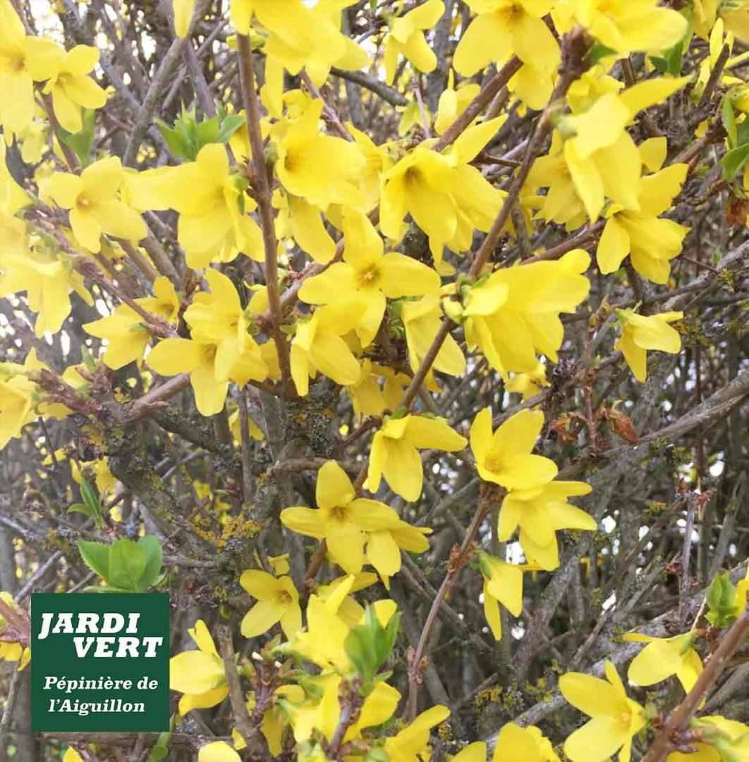 Ou acheter un forsythia et des plantes fleuries ? Pépinière de l'Aiguillon près de Cugnaux et Saint-Lys