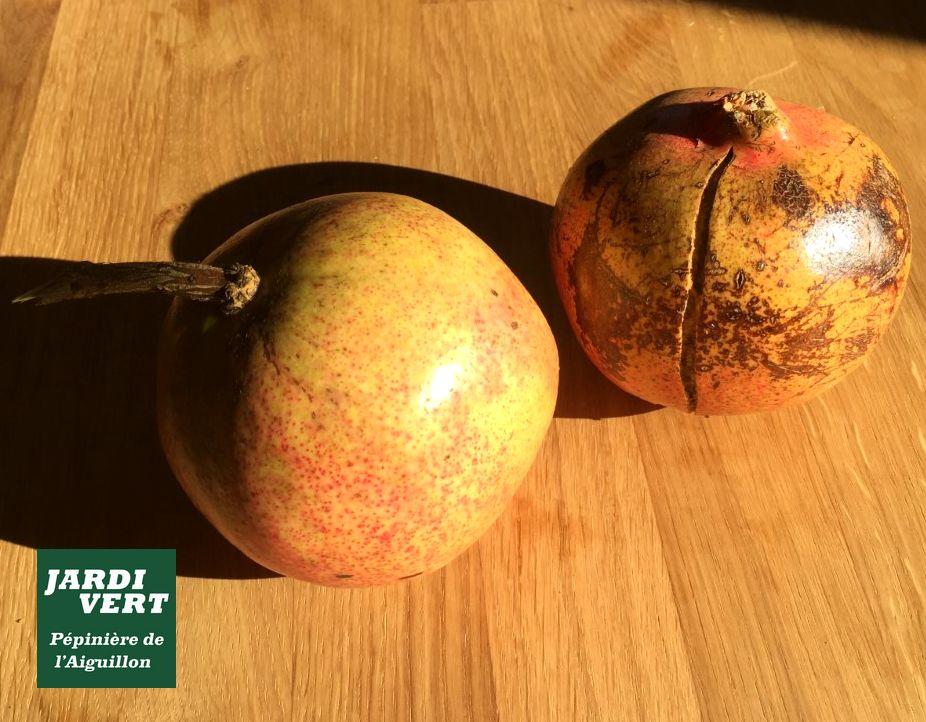 Grenade récoltée à Toulouse - Pépinière de l'Aiguillon, vente d'arbres fruitiers