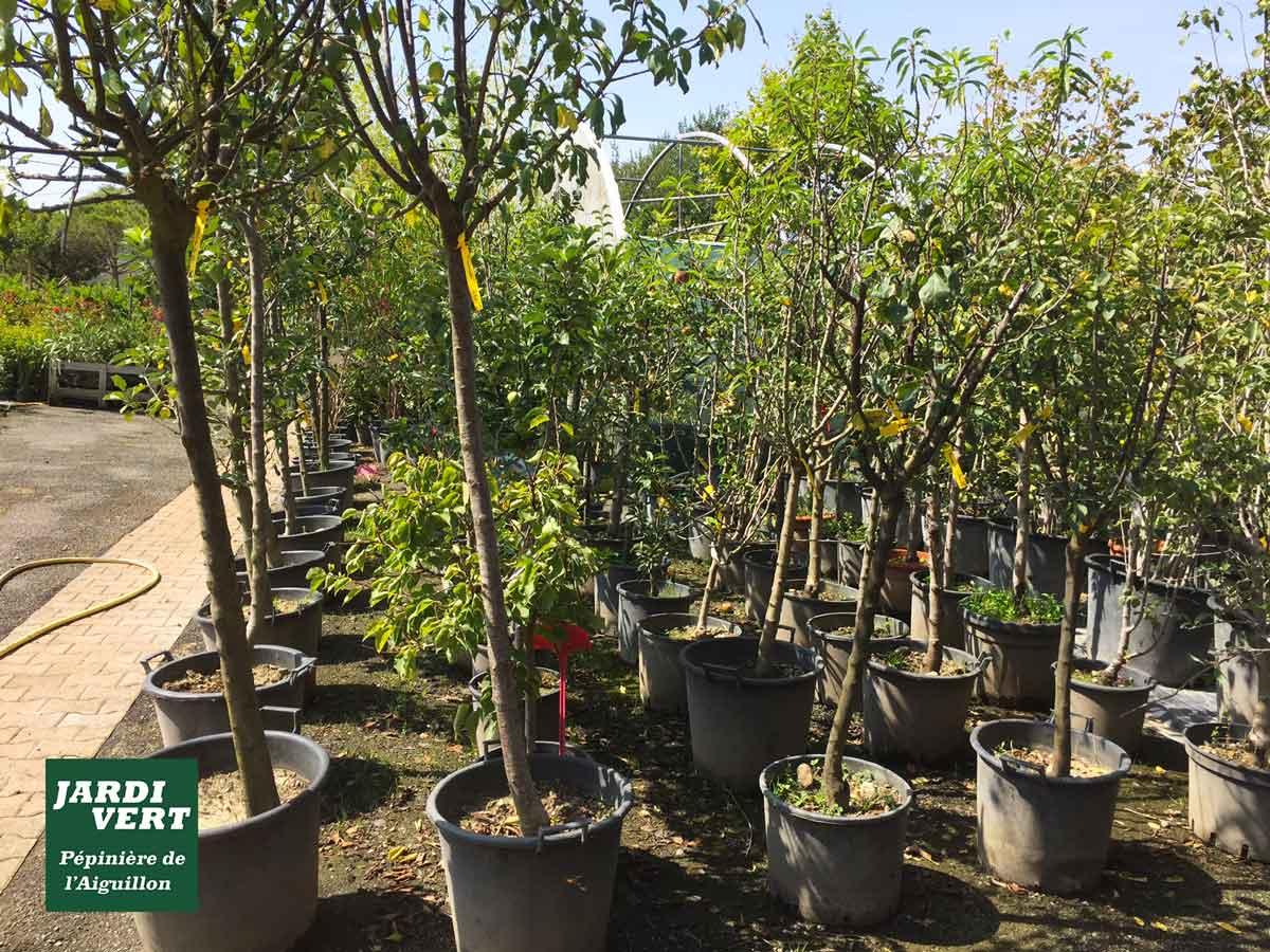 Vente d'arbres fruitiers pour vergers, en containers et racines nues - Pépinière de l'Aiguillon Frouzins