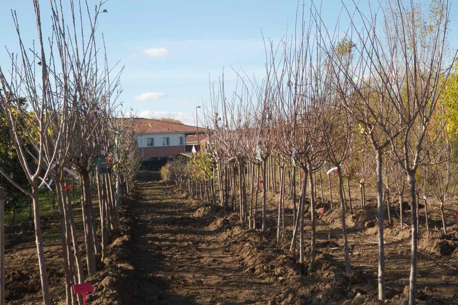 Vente d'arbres fruitiers à l'automne en racines nues, petit et grand sujet - pépinière aiguillon toulouse