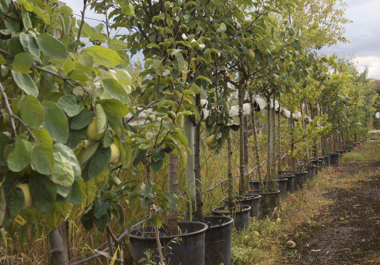 Vente d'arbres fruitiers petits et grands sujet en container ou pots - pépinière aiguillon Toulouse