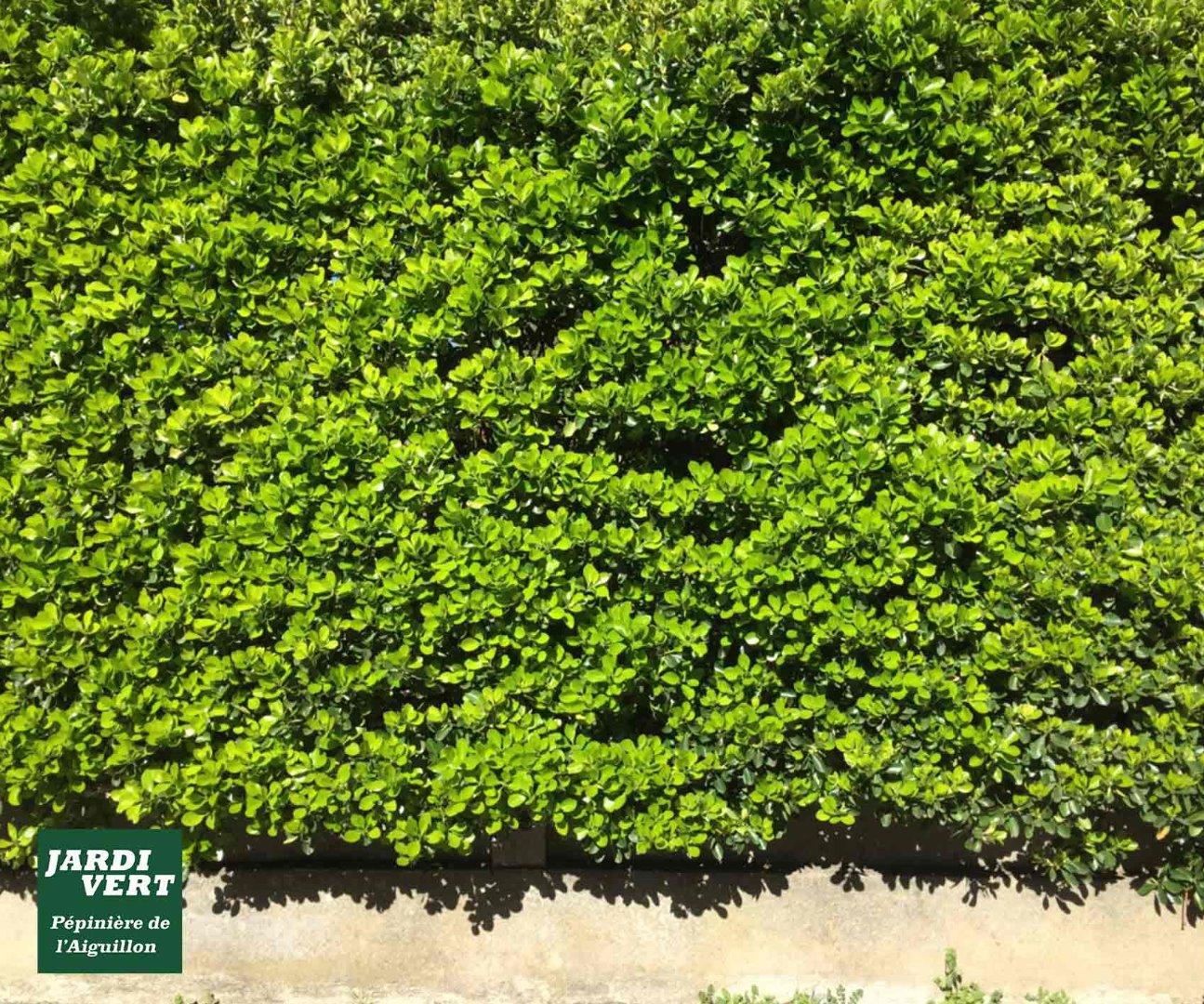Vente de fusains ou euonymus japonicus pour la plantation de haie persistante - Pépinière de l'Aiguillon près de Muret