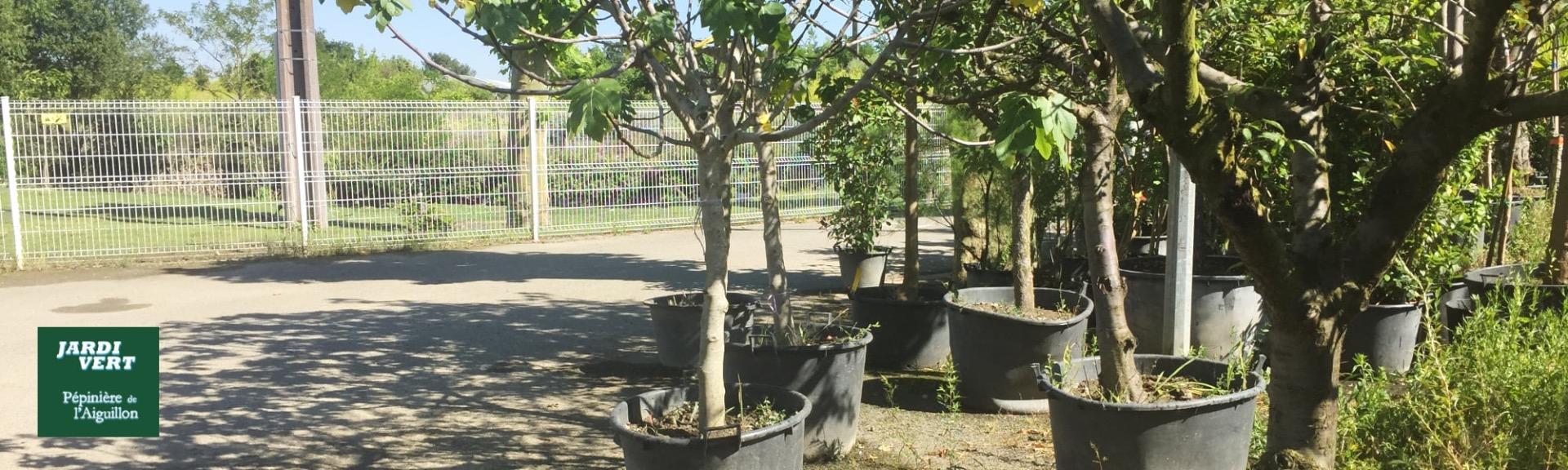 Vente de grands sujet, gros arbres fruitiers à Toulouse - pépinière jardinerie de l'Aiguillon