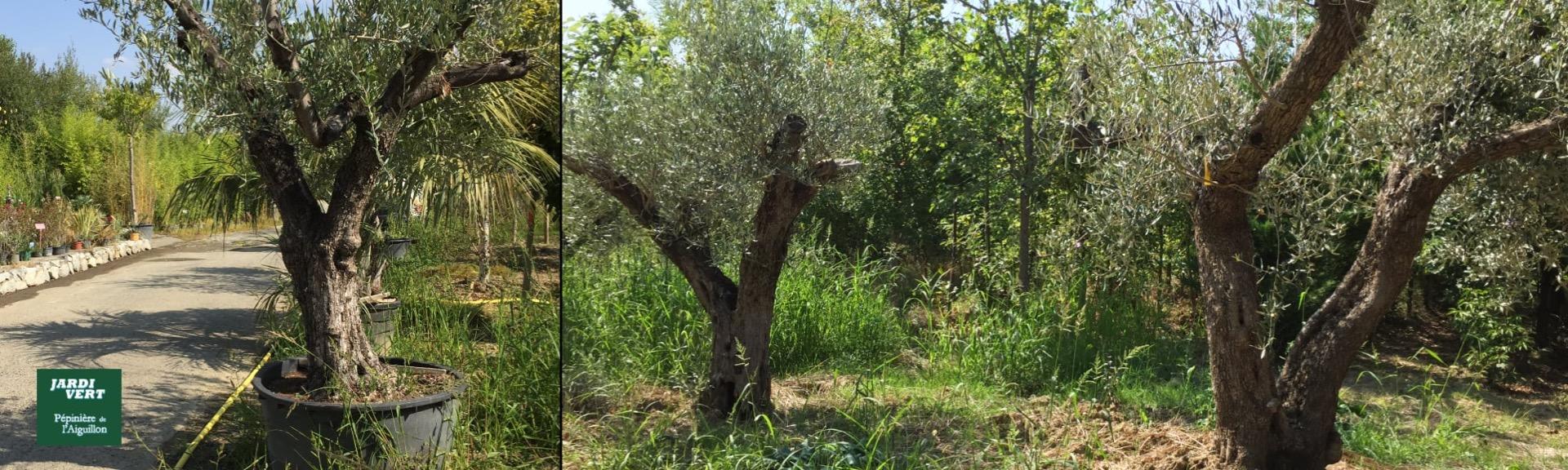 Vente et plantation d'oliviers centenaires à Toulouse - Jardi Vert Pépinière de l'Aiguillon