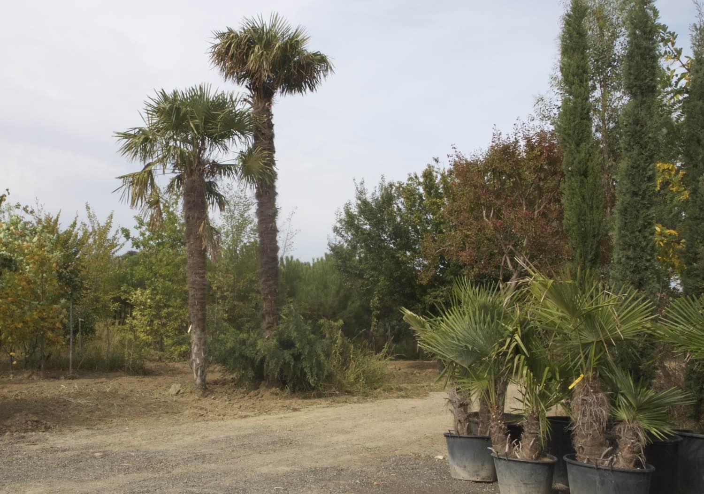 Vente de palmiers gros sujets à Toulouse