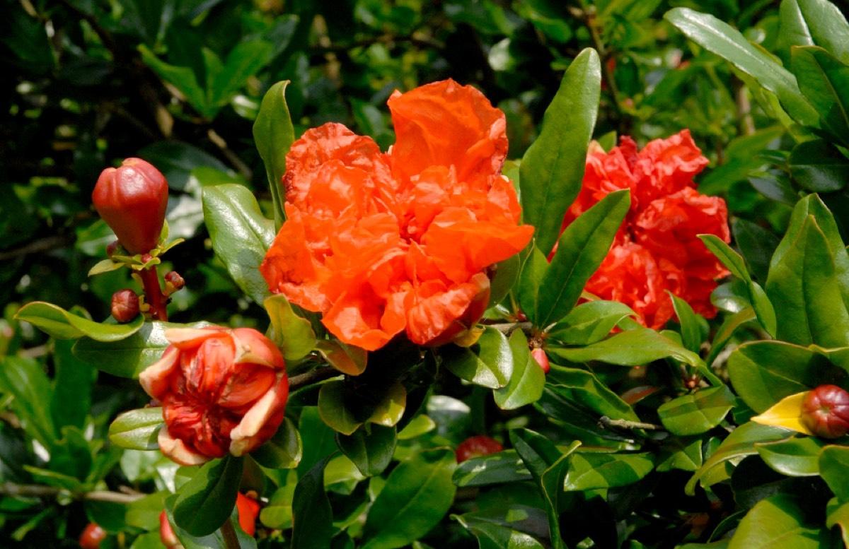 Vente de grenadier à fleurs, punica granatum - Pépinière de l'Aiguillon producteur Toulouse