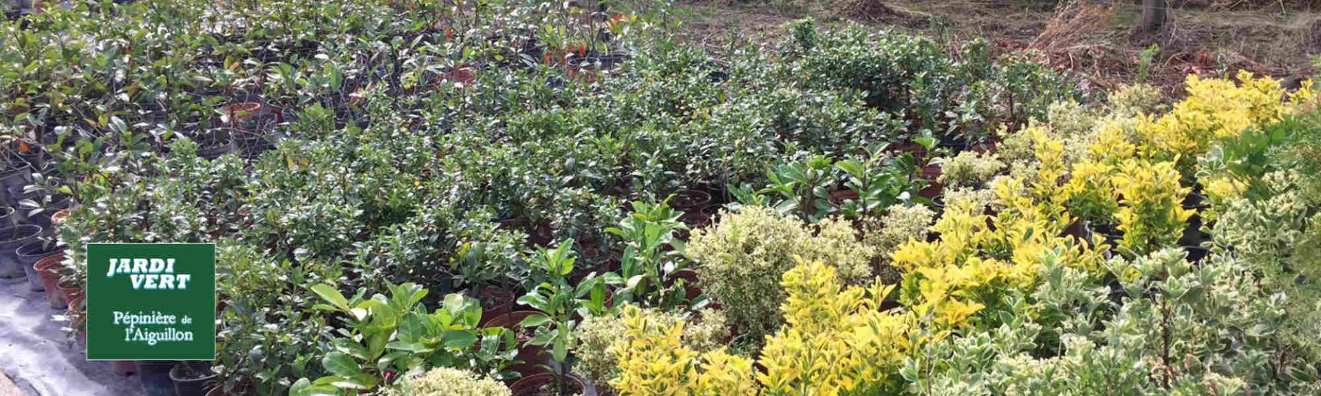 Vente de haie en jeune plants en containers - Pépinière de l'Aiguillon jardinerie à Toulouse