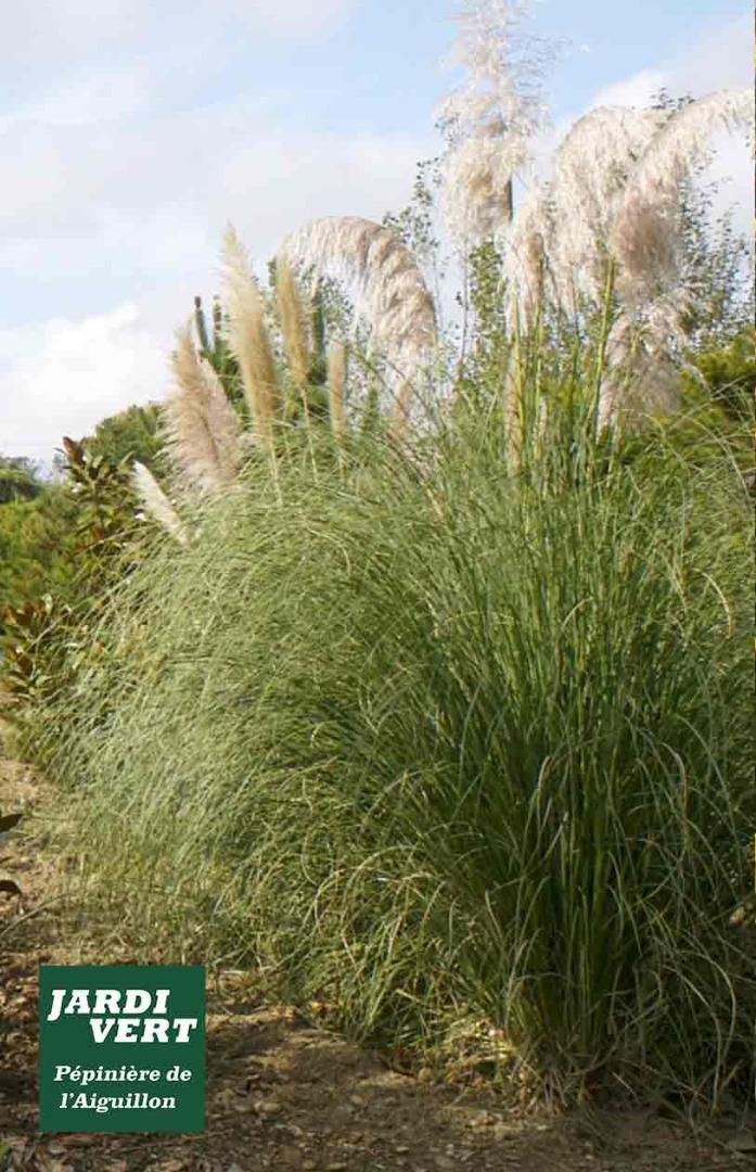 Vente de grande cortaderia ou herbe de la pampa - L'Aiguillon,  Plantes, arbres et arbustes de qualité à Toulouse