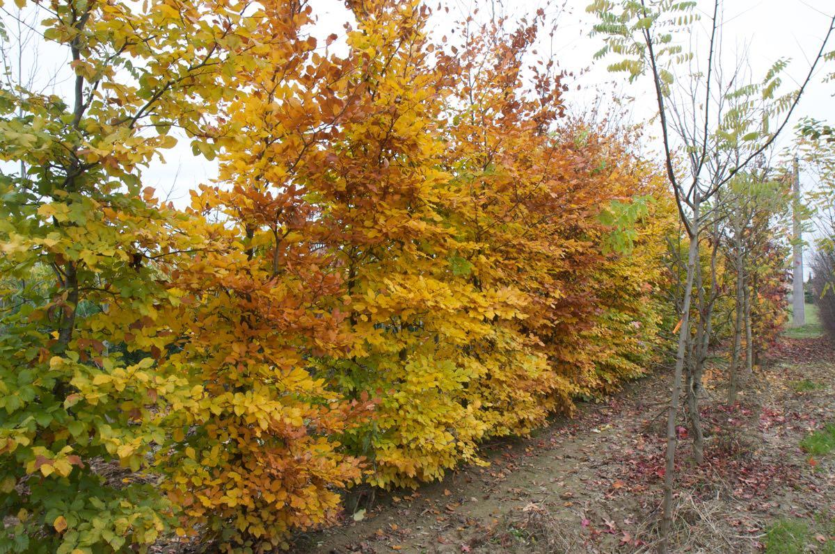 Vente d'érables de couleur à feuilles jaunes - Pépinière de l'Aiguillon producteur Toulouse