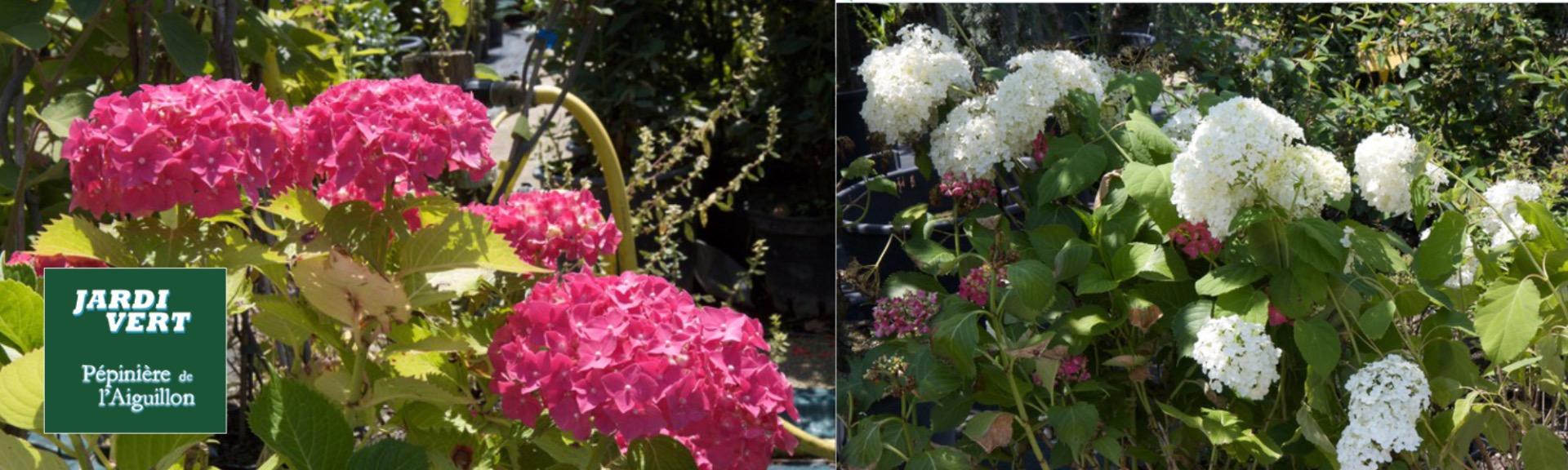 Vente d'hortensias variés - Pépinière de l'Aiguillon jardinerie à Toulouse