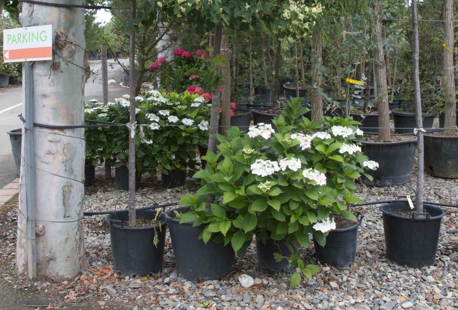 Vente de grands hortensias - Pépinière de l'Aiguillon jardinerie à Toulouse